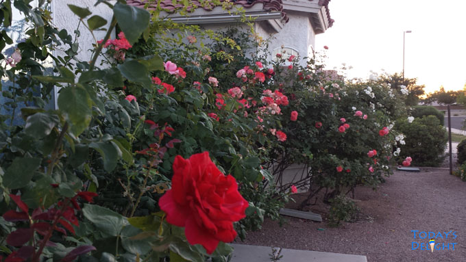 My garden with gorgeous spring time ROSES is Today