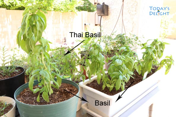 I used Basil from my garden to make this dish